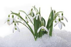 Snowdrops i isolerad snow Fotografering för Bildbyråer