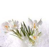 Snowdrops i snow Arkivbilder