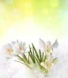 Snowdrops i snow Royaltyfria Bilder