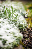 Snowdrops on a icy bed, concept spring beginning stock photo