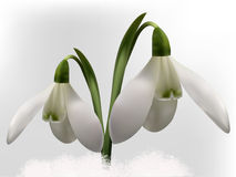 Snowdrops  illustration Stock Images
