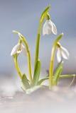 Snowdrops im Schnee lizenzfreie stockbilder