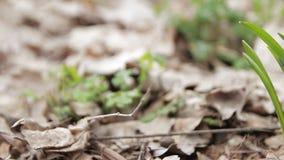 Snowdrops im Wald stock footage