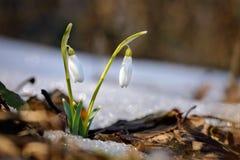 Snowdrops im Wald Lizenzfreie Stockfotos