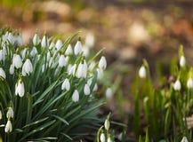 Snowdrops im Wald Lizenzfreies Stockfoto