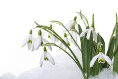 Snowdrops In Snow Stock Image