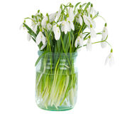Snowdrops In Vase Isolated Stock Image