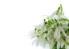Snowdrops isolated on a white Stock Image