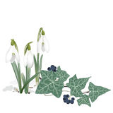 Snowdrops and Ivy - Background Stock Photo