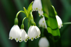 Snowdrops in Japan on a Sunlight Royalty Free Stock Photography