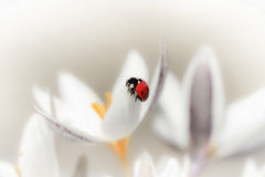 Snowdrops with ladybug. Crocus Royalty Free Stock Images