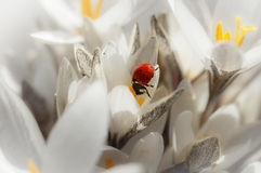 Snowdrops with ladybug. Crocus Stock Images