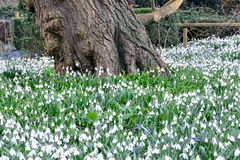 Snowdrops by large treetrunk Stock Image