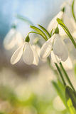 Snowdrops and lights,spring Royalty Free Stock Images