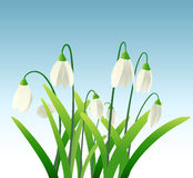 Snowdrops. Little snowdrops on sky background Stock Photography