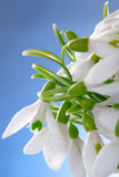 Snowdrops macro Royalty Free Stock Images
