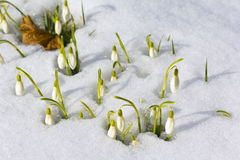 Snowdrops in March Royalty Free Stock Photography