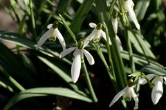 Snowdrops on a meadow Royalty Free Stock Photography
