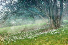 Snowdrops in the meadow. Royalty Free Stock Photography