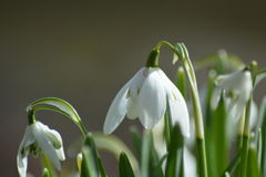 Snowdrops. Means that spring is coming. theese whites flovers is beautifull!! I like spring and i like a !! Contry life it is Royalty Free Stock Image