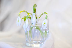 Snowdrops. Modest spring flowers this snowdrops Stock Photography