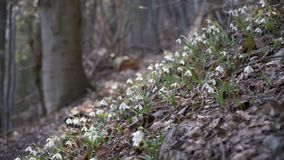 Snowdrops in forest. Snowdrops moving in breeze wind in early spring forest. Dolly shot right to left dawn stock video footage