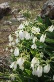 Snowdrops na flor na terra rochosa Fotos de Stock