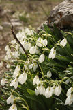 Snowdrops na flor na terra rochosa Foto de Stock