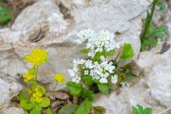 Snowdrops na floresta na mola adiantada Flores selvagens no prado fotos de stock