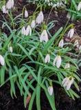 Snowdrops na floresta na mola adiantada Flores selvagens no prado imagem de stock