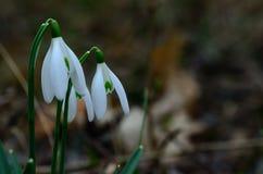 Snowdrops na mola Imagem de Stock Royalty Free