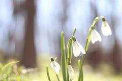 Snowdrops nas flores da mola da floresta floresta da mola que anda no resto e nas flores da floresta Dia ensolarado Manhã ensolar imagem de stock