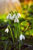 Snowdrops nas madeiras Foto de Stock
