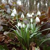 Snowdrops nas madeiras Fotografia de Stock