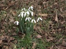 Snowdrops in nature in woods with sounds of a wild birds. First spring flowers snowdrop with birds songs. Snowdrops in nature in woods with sounds of a wild stock video