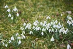 Snowdrops (nivalis de Galanthus) Foto de Stock Royalty Free
