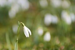Snowdrops (nivalis de Galanthus) Foto de Stock