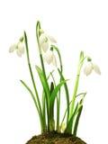 Snowdrops (nivalis de Galanthus) sur le fond blanc Image libre de droits