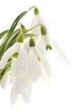 Snowdrops (nivalis de Galanthus) sur le fond blanc Image stock