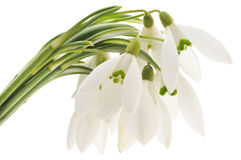 Snowdrops (nivalis de Galanthus) sur le fond blanc Photos libres de droits