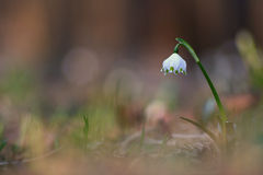 Snowdrops (nivalis del galanthus) Fotos de archivo