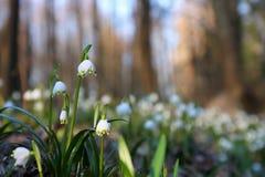 Snowdrops (nivalis del galanthus) Fotos de archivo libres de regalías