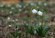 Snowdrops (nivalis del galanthus) Imagenes de archivo