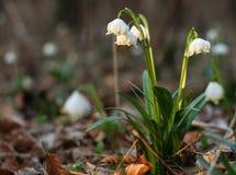 Snowdrops (nivalis del galanthus) Imágenes de archivo libres de regalías