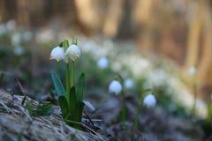 Snowdrops (nivalis del galanthus) Foto de archivo