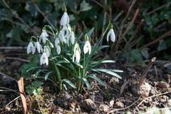 Snowdrops, nivalis do glanthus Imagens de Stock Royalty Free