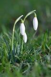 Snowdrops (nivalis Galanthus) цветет весной сезон Красивая естественная запачканная предпосылка с лучами солнца Стоковая Фотография RF