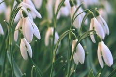 Snowdrops (nivalis Galanthus) цветет весной сезон Красивая естественная запачканная предпосылка с лучами солнца Стоковое Фото