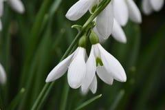 Snowdrops (nivalis Galanthus) стоковое изображение rf