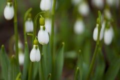 Snowdrops no foco Foto de Stock Royalty Free